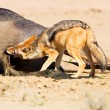 Jackal eating carcass - Stock Photo