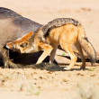Jackal eating carcass — Stock Photo #26048509