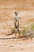 Suricate standing on sand — Stock Photo