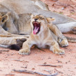 Lioness female with cubs — Stock Photo #26391699