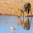 Jackal drinking water — Stock Photo #26392081