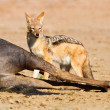 Stock Photo: Jackal eating carcass