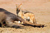 Jackal eating carcass — Stock Photo