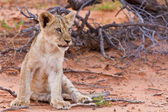 Lion cub sitting on the sand and looking — Stock Photo