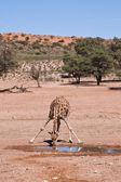 Een giraffe drinkwater in de woestijn droge landschap — Stockfoto