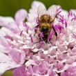 Stock Photo: Macro of bee sitting on purple flower