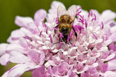 Macro of bee sitting on purple flower — Stock Photo