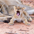 Lioness female with cubs — Stock Photo #28009849