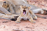 Lioness female with cubs — Stok fotoğraf