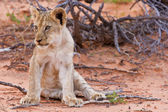 Lion cub sitting on the sand and looking — Foto de Stock