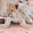 Lioness female with cubs — Stock Photo
