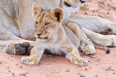 Lioness female with cubs — Stockfoto