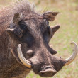 Warthog with big tusks and hairy face close-up — Stock Photo #28692879