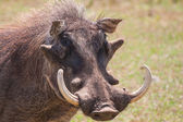 Warthog with big tusks and hairy face close-up — Stock Photo