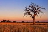 Lovely sunset in Kalahari with dead tree — Zdjęcie stockowe