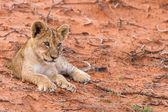 Beautiful lion cub on kalahari sand — Stock Photo