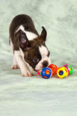Boston terrier puppy play — Photo