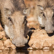 Stock Photo: Warthog sow and piglet drinking water in early morning su