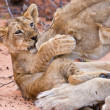 Stock Photo: Lion cub play with mother on sand