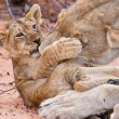 Lion cub play with mother on sand — Stock Photo
