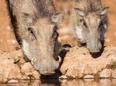 Warthog sow and piglet drinking water in the early morning su — Стоковое фото