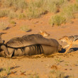 Stock Photo: Pair of jackal fight over food in Kalahari angry