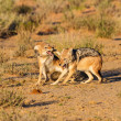 Pair of jackal fight over food in the Kalahari angry — Stock Photo #29389073
