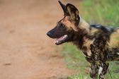 Wild dog standing looking for prey — Stock Photo