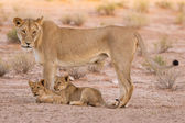 Lioness and cubs play in the Kalahari on sand — Stock Photo