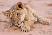 Cute lion cub playing on sand in the Kalahari — Stock Photo