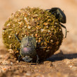 Stock Photo: Dung beetles rolling their ball with eggs inside