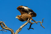 Juvenile Bateleur Eagle take off from branches with blue sky — Foto Stock