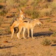 Pair of jackal fight over food in the Kalahari angry — Stock Photo