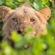 Foto de Stock  : Angry lion stare through leaves ready to kill