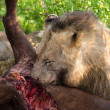 Stock Photo: Male lion eating buffalo in nature hungry
