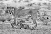 Lioness and cubs play in the Kalahari on sand artistic conversio — Stock Photo