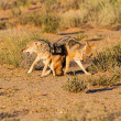 Постер, плакат: Pair of jackal fight over food in the Kalahari angry