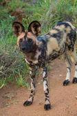 野生の犬立っている獲物を探して — ストック写真
