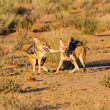 Pair of jackal fight over food in the Kalahari angry — Stock Photo #29865163