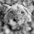 Foto de Stock  : Angry lion stare through leaves ready to kill artistic conversio