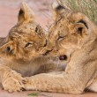 Two cute lion cubs playing on sand in the Kalahari — Stock Photo
