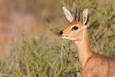 Steenbok standing in scrub in kalahari — Stock Photo