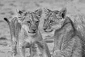 Two cute lion cubs playing on sand in the Kalahari artistic conv — Stock Photo