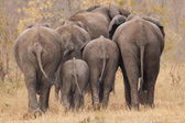 Breeding herd of elephant walking away int the trees — Stock Photo