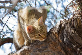 African wild cat looking for food high up — Stock Photo