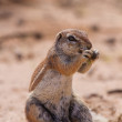 Stock Photo: Ground squirrel eating grass roots in hot kalahari