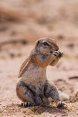 Ground squirrel eating grass roots in the hot kalahari — Stockfoto