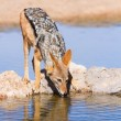 Black backed jackal drinking cool water — Stock Photo