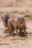 Ground squirrel eating grass roots in the hot kalahari — Stok fotoğraf