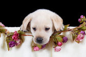 Beautiful labrador puppy lying in box with pink towel — Stock Photo